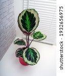 calathea roseopicta  the rose...   Shutterstock . vector #1932656975