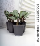 ctenanthe amagris  called the...   Shutterstock . vector #1932657008