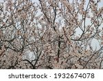 tree in spring  blossoming in a ... | Shutterstock . vector #1932674078