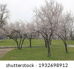 tree in spring  blossoming in a ... | Shutterstock . vector #1932698912