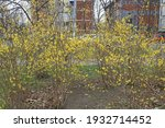 bushes in spring  blossoming in ... | Shutterstock . vector #1932714452