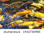 Movement Group Of Colorful Koi...