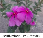 Close Up Of Catharanthus Roseus ...