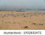Flock Of Least Tern Birds On...