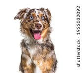 Miniatur Americain Shepherd Dog ...