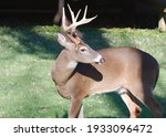 A Whitetail Deer Buck Looks To...