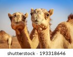 Camels in arabia  wildlife