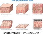 Types Of Animal Tissues By...