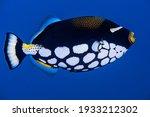 Clown Triggerfish Similan...