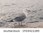 Seagull Standing And Watching...