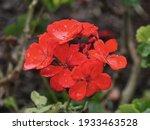 Red Bedding Geranium Flowers...