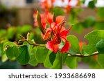 Summer  Flowers Of Bauhinia...