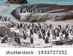 Flock Crowd Colony Of Jackass...