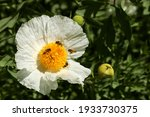 Californian Tree Poppy  Romneya ...