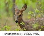 Roe Deer Eating Fresh Oak...