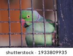 Indian Green Parrot In The Cage