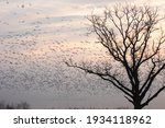 Snow Geese On Foggy Lake At...