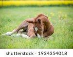 Sleeping Brown Chestnut German...