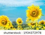 Sunflower Garden On Sunny Day...