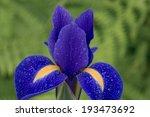 Close Up Of A Purple Dutch Iri...