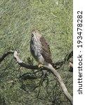 Small photo of Juvenile Cooper's Hawk (Accipiter cooperii) perched near Desert Broom