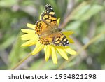 A Very Colorful Painted Lady...