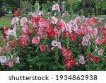Hollyhock  Malvaceae  Hollyhock ...