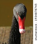 Head Of Black Swan With Red Beak