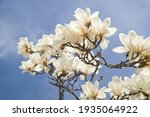 Yulan Magnolia Flowers Are In...