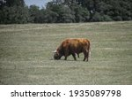 Cow In A Green Field