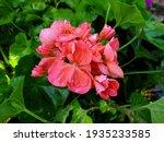 Bright Pink Geranium After Rain