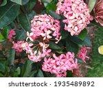 Amazing Pink Chinese Ixora...