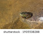 A Green Marsh Frog With Blask...