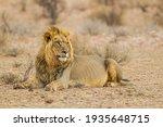 Black Maned Lion Of The...