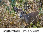 Baby White Tailed Deer Looking...
