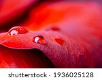 Macro Photo Of Red Rose Flower...