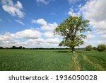Single Oak Tree In A Field In...