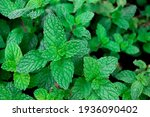 Peppermint Is A Plant In The...