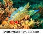 Sea Slug  Nudibranch Felimare...