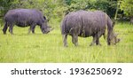 These Southern White Rhinoceros ...