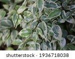 ficus kinky. branch of ficus...   Shutterstock . vector #1936718038