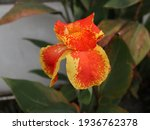 The Canna Indica. The Plant Is...