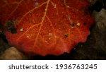 Beautiful Red Autumn Leaf Lying ...