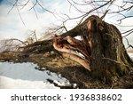 A Fallen Tree After A Hurricane ...
