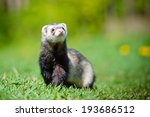 Ferret Outdoors