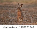 Brown Hare Sits In The Grass