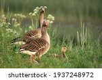 Parent Greylag Geese Out With...