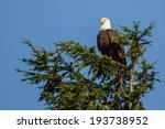Bald Eagle In A Treetop