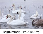 White swan flock in spring...