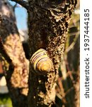 Land Snail Banded Caracole ...
